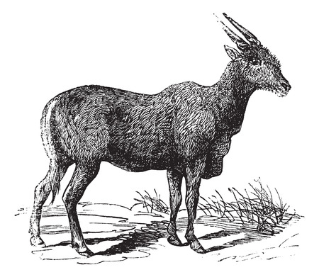antelope: Oreas Canna, Eland or South African antelope vintage engraving. Old engraved illustration of African antelope.