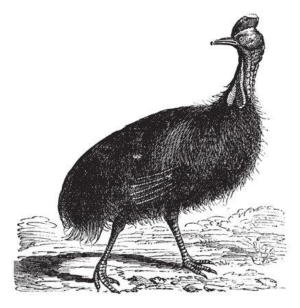 ratite: Casuarius galeatus or cassowary vintage engraving. Old engraved illustration of Casuarius galeatus. Illustration