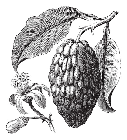 medica: Citrus medica or Citron vintage engraving. Old engraved illustration of citrus fruit with leaves.