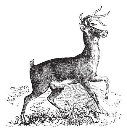 venado cola blanca: Cola blanca, virginianus Carausio o grabado Virginia ciervos de la vendimia. Ilustración del Antiguo grabado de cola blanca. Vectores
