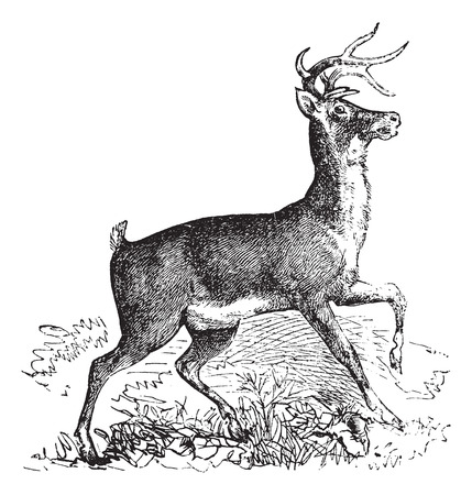Whitetail, Carausius virginianus or Virginia deer vintage engraving. Old engraved illustration of whitetail. Illustration