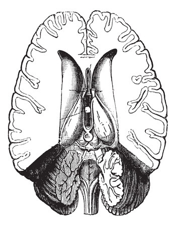 Fig.2 Human brain cut horizontally to show internal parts vintage engraving. Old engraved illustration of human brain cut horizontally to show internal part. Illustration