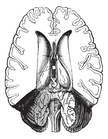 Fig.2 Menselijke hersenen horizontaal gesneden om interne onderdelen te tonen vintage graveren. Oude gegraveerde afbeelding van het menselijk brein horizontaal gesneden om interne onderdeel te tonen. Stockfoto - 37716678