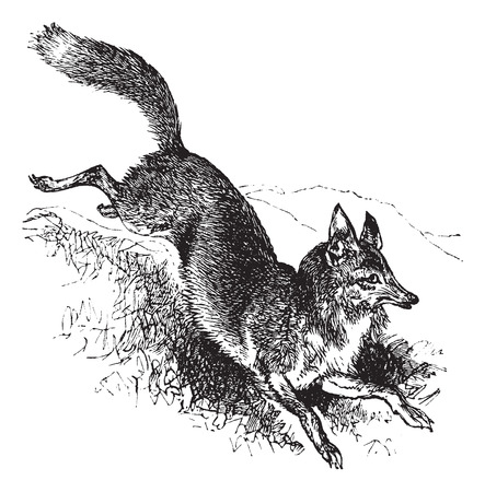 canis: Golden jackal or Canis aureus vintage engraving. Old engraved illustration of alert canis aureus. Illustration