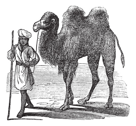 herder: Bactrian camel or Camelus bactrianus vintage engraving. Old engraved illustration of a man leading a bactrian camel on desert.