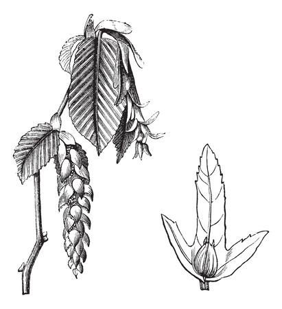 hornbeam: European Hornbeam or Carpinus betulus, vintage engraving. Old engraved illustration of the European Hornbeam showing flowers (left) and winged seed (right).