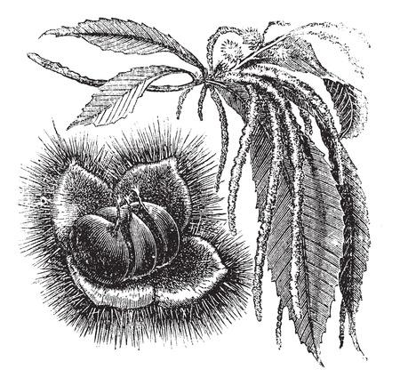 Castaño o Castanea sp., El grabado de época. Ilustración del Antiguo grabado de una planta de la castaña que muestra la tuerca (izquierda) y amentos (derecha).