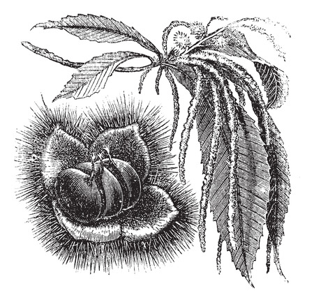 Chestnut or Castanea sp., vintage engraving. Old engraved illustration of a Chestnut plant showing the nut (left) and catkins (right). Ilustração