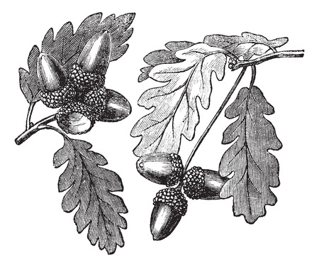 quercus: English Oak or Pedunculate Oak or Quercus robur, vintage engraving. Old engraved illustration of English Oak showing acorns.