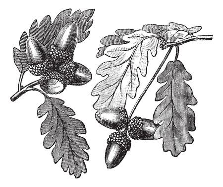 Inglés roble o roble Pedunculate o Quercus robur, el grabado de época. Ilustración del Antiguo grabado Inglés roble muestran bellotas.