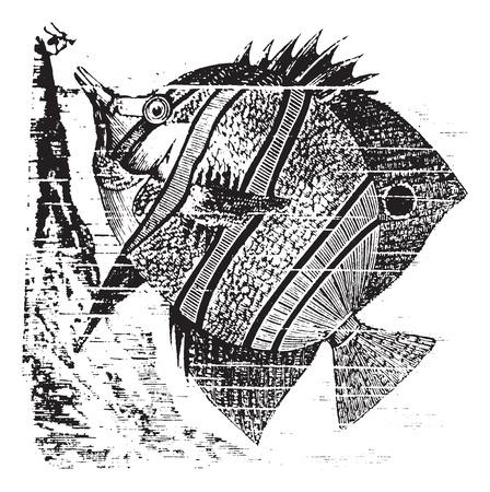 Copperband Butterflyfish or Beak Coralfish or Chelmon rostratus, vintage engraving. Old engraved illustration of a Copperband Butterflyfish. Vector