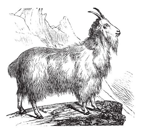 wild goat: Cabra salvaje o Capra aegagrus, grabado de �poca. Ilustraci�n del Antiguo grabado de la cabra salvaje. Vectores