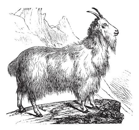 vulnerable: Wild Goat or Capra aegagrus, vintage engraving. Old engraved illustration of Wild Goat.