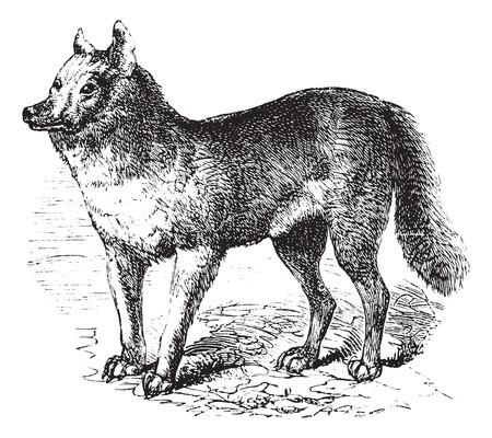 gray wolf black and white: Dingo or Australian Dingo or Canis lupus dingo, vintage engraving. Old engraved illustration of a Dingo.