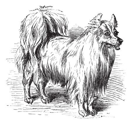 スピッツまたは Canis lupus 欺かれやすい、ヴィンテージの彫刻。古い、スピッツのイラストを刻まれています。