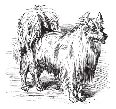 Spitz or Canis lupus familiaris, vintage engraving. Old engraved illustration of a Spitz. Illustration