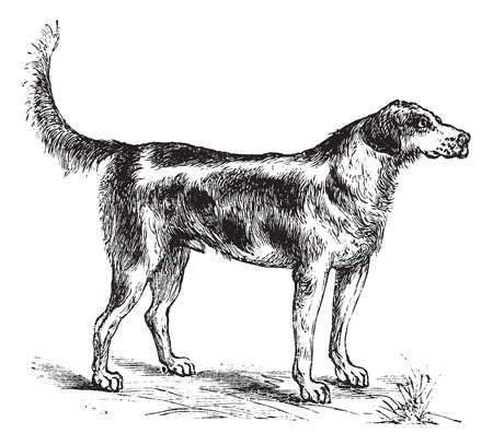 sniffing: Harrier or Canis lupus familiaris, vintage engraving. Old engraved illustration of a Harrier.