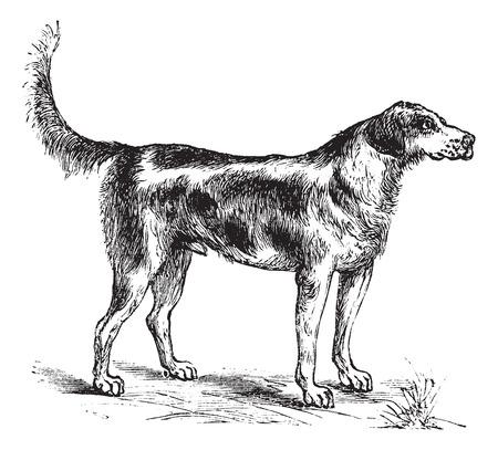 snuffelen: Kiekendief of Canis lupus familiaris, vintage graveren. Oude gegraveerde afbeelding van een Harrier.