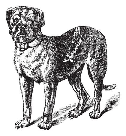 Dogue of Bordeauxdog of Bordeaux Mastiff of Franse Mastiff of Bordeauxdog of Canis lupus familiaris, vintage graveren. Oude gegraveerde illustratie van Dogue.