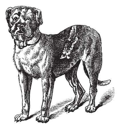 familiaris: Dogue or Dogue de Bordeaux or Bordeaux Mastiff or French Mastiff or Bordeauxdog or Canis lupus familiaris, vintage engraving. Old engraved illustration of Dogue.
