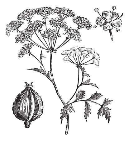 hemlock: Hemlock o Poison Hemlock o Conium maculatum, grabado de época. Ilustración del Antiguo grabado de Hemlock.