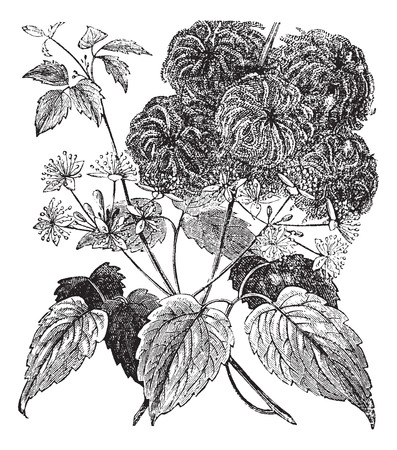 perennial: Devils Darning Needles or Devils Hair or Love Vine or Travellers Joy or Virgins Bower or Virginia Virgins Bower or Wild Hops or Woodbine or Clematis virginiana, vintage engraving. Old engraved illustration of the Devils Darning Needles. Illustration