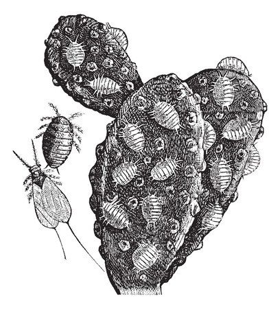 herd: Mealybug or Pseudococcidae, vintage engraving. Old engraved illustration of a herd of Mealybugs feeding on a cactus (right), a female (top middle), and a male (bottom middle).