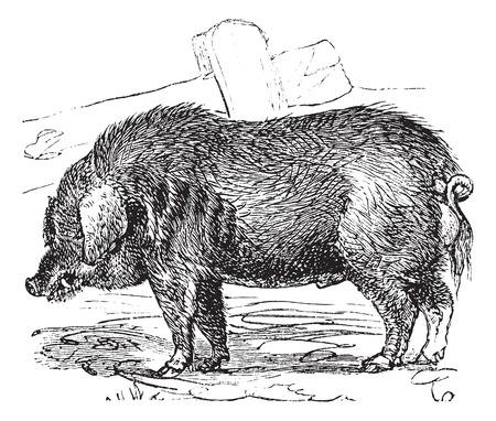 lard: Curly-hair Hog or Mangalitsa or Mangalitza or Mangalica or Sus bucculentus, vintage engraving. Old engraved illustration of a Curly-hair Hog.
