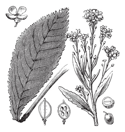 officinalis: Scurvy-grass or Scurvy Grass or Scurvygrass or Spoonwort or Cochlearia sp., vintage engraving. Old engraved illustration of Scurvy-grass showing flowers and seeds.