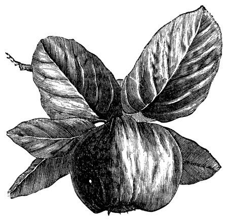 membrillo: Quince o Cydonia oblonga, grabado de época. Ilustración del Antiguo grabado de un membrillo.