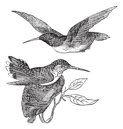 anna: Annas Hummingbird or Calypte anna, vintage engraving. Old engraved illustration of Annas Hummingbird showing male bird (top) and female bird (bottom).