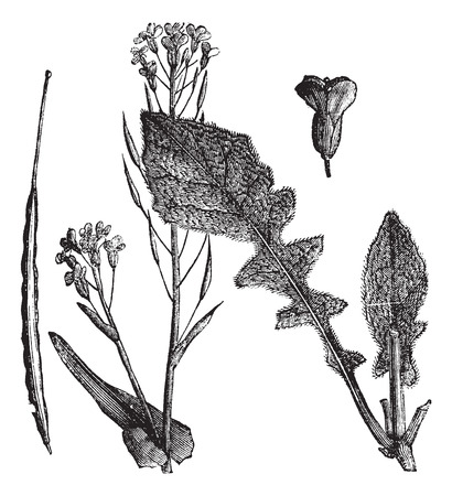 canola: Field Mustard or Turnip Mustard or Brassica rapa or Brassica campestris esculenta, vintage engraving. Old engraved illustration of Field Mustard showing flowers,leaves and seedpod.