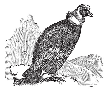 carrion: Andean Condor or Vultur gryphus, vintage engraving. Old engraved illustration of Andean Condor. Illustration
