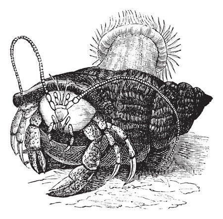 dragging: Hermit crab dragging Sea anemones, vintage engraved illustration of the Hermit crab dragging Sea anemones.