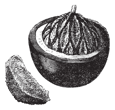 known: Brazil nut also known as Bertholletia excelsa, fruit, vintage engraved illustration of the Brazil nut. Illustration
