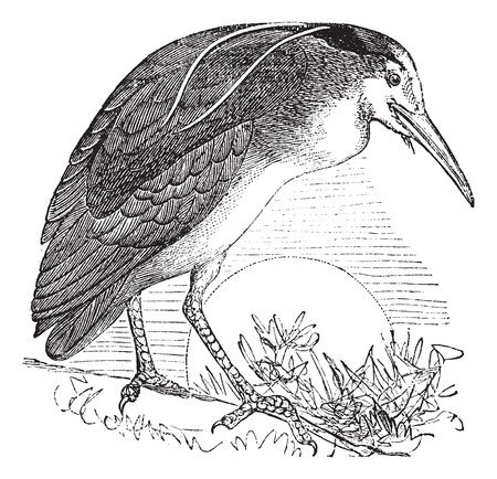 wade: Night Heron also known as Nycticorax nycticorax, Bird, North America, vintage engraved illustration of Night Heron, North America. Illustration