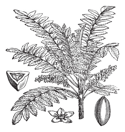 Indian Frankincense Salai or Boswellia serrata vintage engraving.  Old engraved illustration of Indian Frankincense plant
