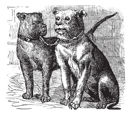 ブルドッグや英語ブルドッグまたは英国のブルドッグ Canis lupus 欺かれやすい、ヴィンテージの彫刻。ブルドッグの古い彫刻が施された図。