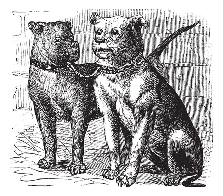 familiaris: Bulldog or English Bulldog or British Bulldog or Canis lupus familiaris, vintage engraving. Old engraved illustration of Bulldog.