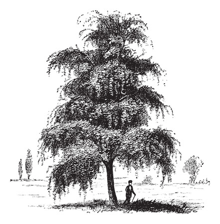 rosids: Birch also known as Betula, tree, vintage engraved illustration of Birch, tree, isolated on a white background. Illustration