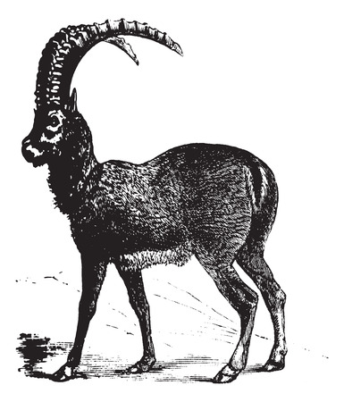 capra: Alpine Ibex also known as Capra ibex, goat, vintage engraved illustration of Alpine Ibex, goat. Illustration