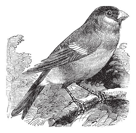 watchful: Eurasian Bullfinch also known as Pyrrhula pyrrhula, vintage engraved illustration of Eurasian Bullfinch, bird.