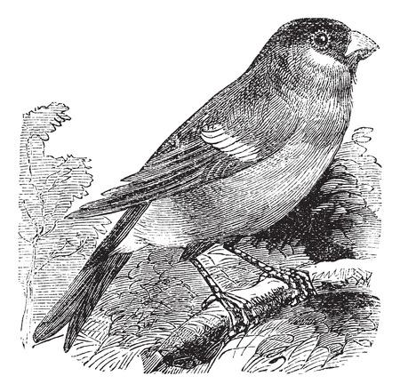 eurasian: Eurasian Bullfinch also known as Pyrrhula pyrrhula, vintage engraved illustration of Eurasian Bullfinch, bird.