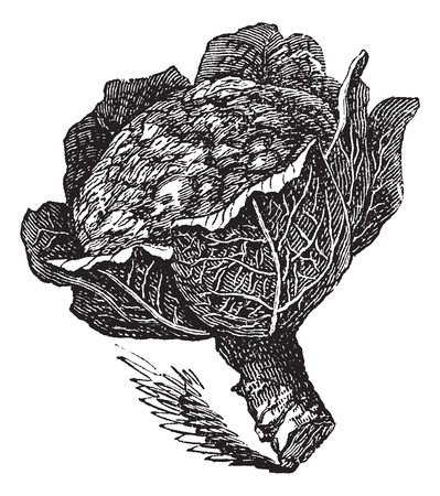 brassica: Engraving of an isolated broccoli on white (Brassica oleracea) Illustration