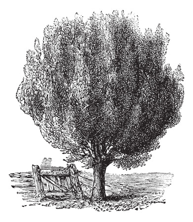 boxwood: Boxwood also known as Buxus,tree, vintage engraved illustration of Boxwood, tree isolated against a white background.