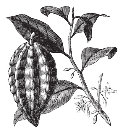 Cacao tree also known as Theobroma cacao, leaves, fruit, vintage engraved illustration of Cacao tree, leaves and fruit isolated against a white background. Illustration