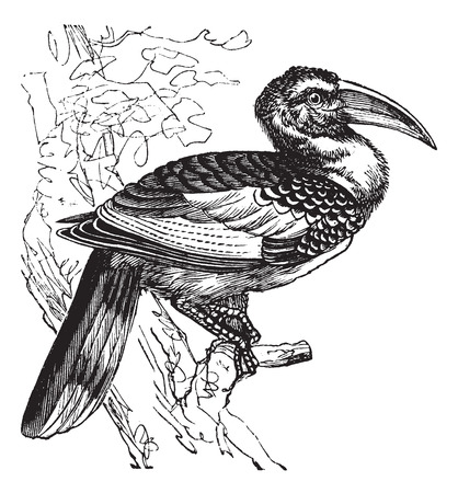 watchful: Red-billed Hornbill also known as Tockus erythrorhynchus, vintage engraved illustration of Red-billed Hornbill, bird.