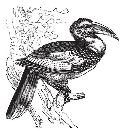 omnivorous: Red-billed Hornbill also known as Tockus erythrorhynchus, vintage engraved illustration of Red-billed Hornbill, bird.