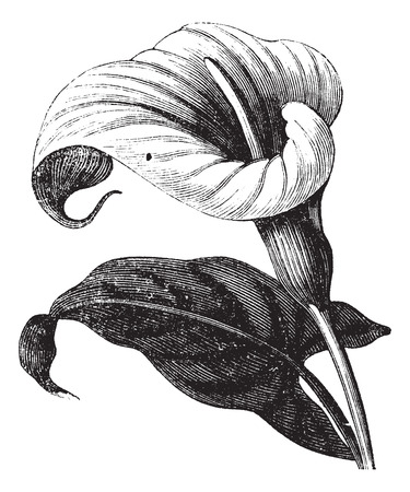 Zantedeschia aethiopica also known as Richardia Africana, flower, vintage engraved illustration of Zantedeschia aethiopica, flower, isolated against a white background. Stock Illustratie