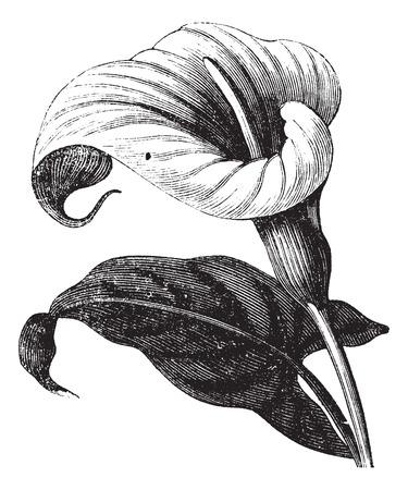 lirio blanco: Zantedeschia aethiopica tambi�n conocido como Richardia Africana, flor, ilustraci�n, grabado de �poca de Zantedeschia aethiopica, flor, aislado contra un fondo blanco.